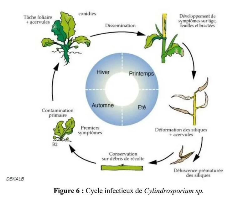 Figure 3: Cycle infectieux de Cylindrosporium sp.