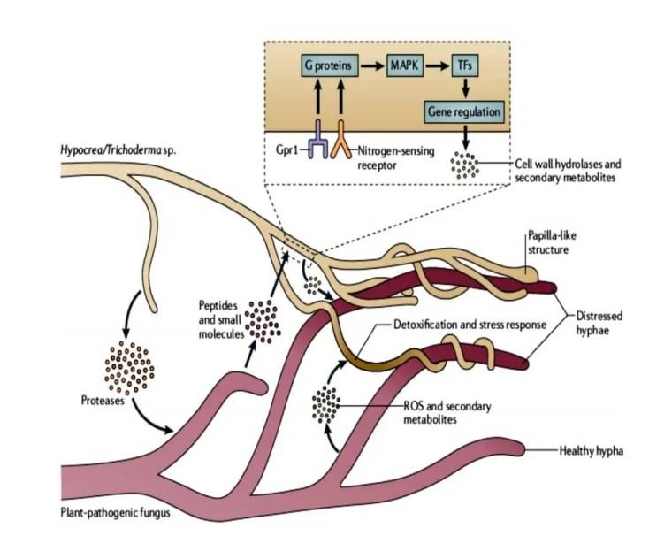 Figure 4 : Mécanisme de mycoparasitisme exercé par les souches de Trichoderma (Irina et al.,2001).
