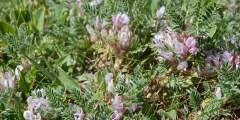 Le genre Astragalus en Algérie