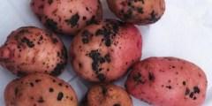 Rhizoctone brun de la pomme de terre