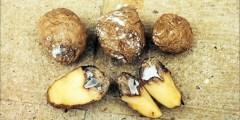 Flétrissure fusarienne sur la pomme de terre