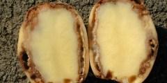 flétrissure bactérienne sur la pomme de terre