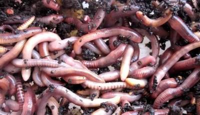 La phylogénie des vers de terre