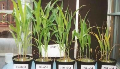 Mécanismes d'adaptations des plantes face à un environnement salin