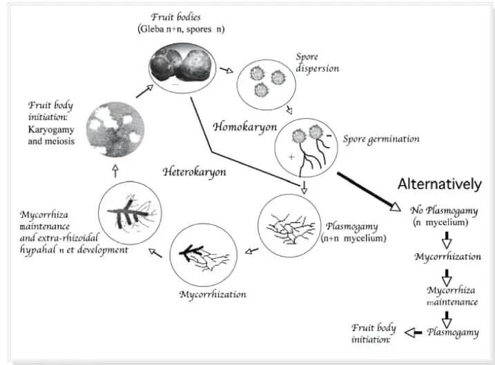 Fig.3 : Schéma du cycle biologique hypothétique de la truffe du désert (Kagan-Zur, 2008).