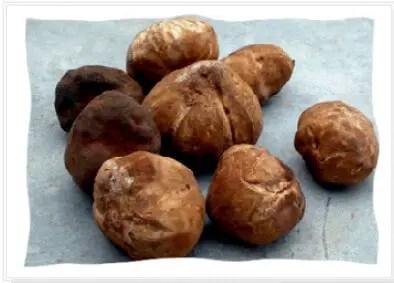 Fig.1 : Morphologie des carpophores des Truffes du désert (Khabar, 2001).