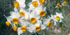Le genre Narcissus L