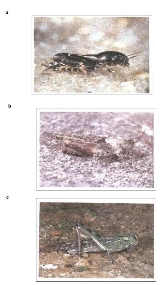 Figure 1 : Principale Superfamilles d'acridiens (BELLMAN et LUQUET, 1995) a- Tridactyloidea b- Tetrigoidea c- Acridoidea