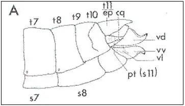 Figure 04 : L'extrémité Abdominal du femelle a : apodème, an : anus, cq : cerque, ep : épiprocte, go : guide de l'uf, gp : gonopore ou orifice génital, od : oviducte, pt : paraprocte, r : rectum, s : spermathèque, sp : orifice de la spermathèque, s7-s11 : sternites abdominaux, s8 : sternite abdominal (plaque sous-génitale), t8-t11 : tergites abdominaux, vd-vl-vv : valves dorsales, latérales et ventrales de l'oviscapte