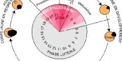 régulation hormonale du cycle œstral