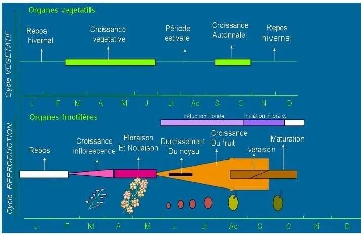 Figure 04: Cycle végétatif annuel d'olivier (Rallo, 1998 ; Girona, 2001).