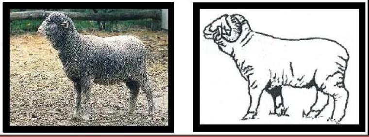 Figure N°6 : Toison très envahissante chez le Mérinos de Rambouillet.