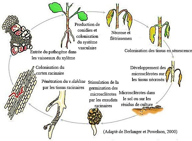 Figure 06: Cycle de développement de V. dahliae (Berlanger et Powelson, 2000).