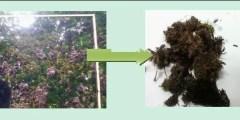Etude botanique des algues rouges