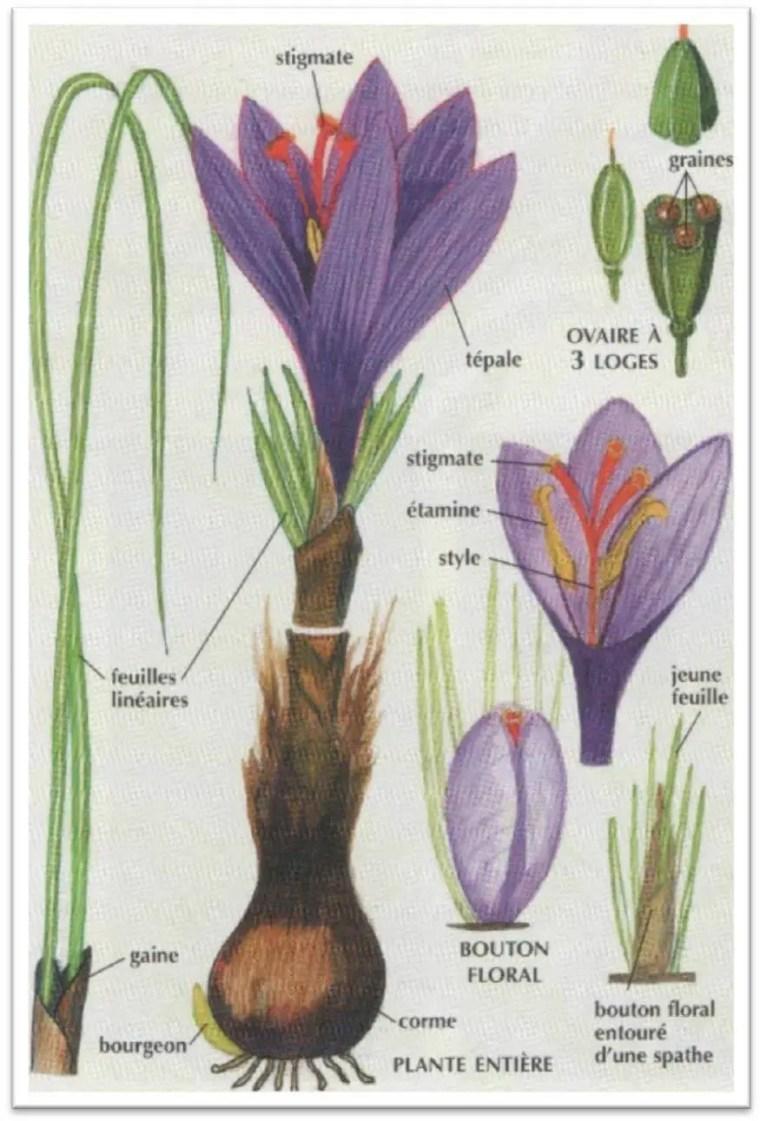 Figure 2 : aspect général de Crocus sativus L. (14)