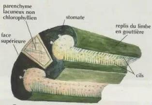 Figure 6 : coupe transversale d'une feuille de crocus (vue de la face inférieure)