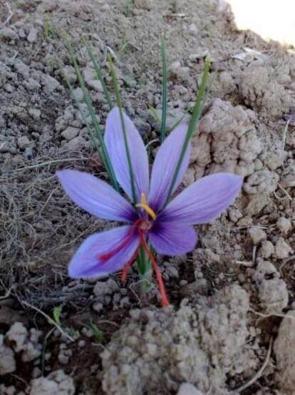 Figure 8 : fleur de crocus [Plombières, novembre 2013]