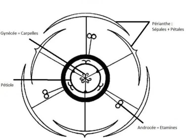 Figure 9 : diagramme floral d'une Iridacée
