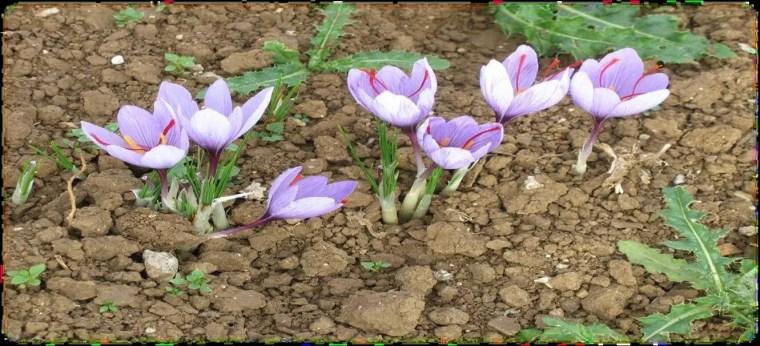 Figure 16 : La floraison de Crocus sativus (Safran du Gâtinais).