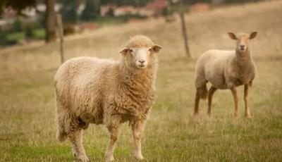 Conformation du mouton selon l'extension de la laine