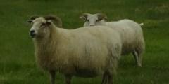 Aspect extérieur du mouton