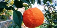 Les ennemis des agrumes (nématodes, ravageurs, maladies)