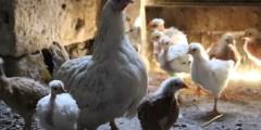 Anatomie de l'appareil reproducteur de la poule