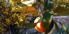 Rendement et récolte des agrumes