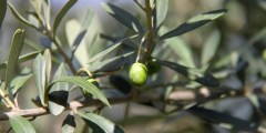 Le cycle végétatif de l'olivier
