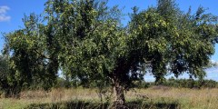 Historique, origine et aire d'expansion de l'olivier