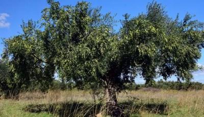 Caractérisation morphologique, culturale et pathogénique de Vertcillium dahliae Kleb., agent causal de la verticilliose de l'olivier (Olea europea L.)
