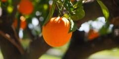 La production des agrumes dans le monde
