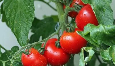 Exigences pédoclimatiques de la tomate