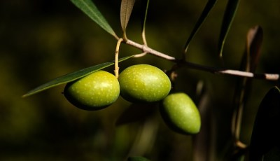Développement et croissance d'olivier