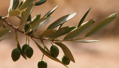 Principales variétés d'olivier algériennes