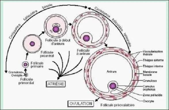 Figure 01: Chronologie du développement folliculaire (MONIAUX et al. 1999).