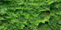 Composition chimique des algues