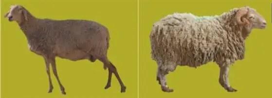 Figure n°2 : brebis et mouton de la race Rembi