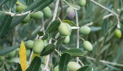 Caractéristiques morphologiques et physiologiques de l'olivier