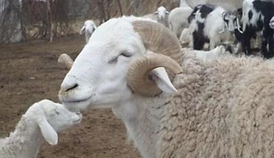 Etude des quelques caractéristiques morphologiques des ovins, race Ouled Djellal