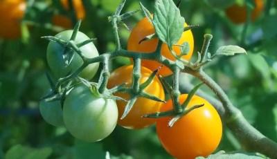 Classification botanique de la tomate