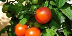 Description sommaire de la tomate