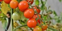 Cycle biologique de la tomate