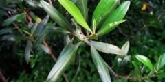 Symptômes de carences des principaux éléments dans l'olivier