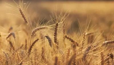 Optimisation de la fertilisation azotée pour une meilleure qualité du blé dur