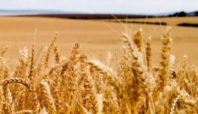 Effets de la structure et de l'humidité du sol sur l'utilisation de l'azote par le blé