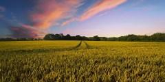 Facteurs influençant l'absorption et l'assimilation de l'azote par le blé