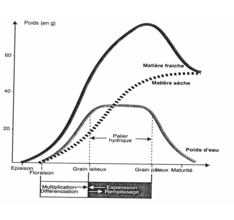 Fig.4 : Principaux stades de remplissage du grain (Gate, 1995)