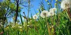 Période critique de compétition des mauvaises herbes