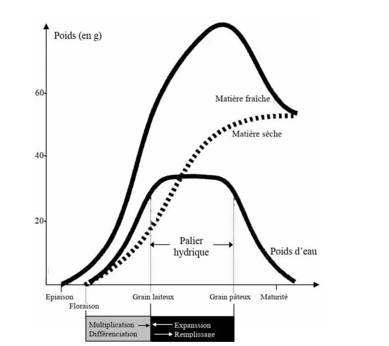 Fig.2 : Principaux stades et caractéristiques de la période de remplissage du grain des céréales à paille (Gate, 1995)